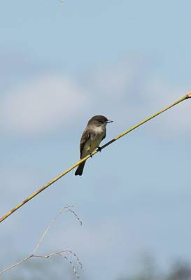 Photograph - Eastern Phoebe by John Black