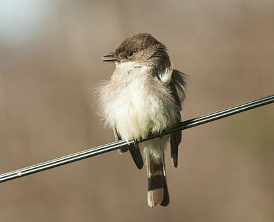 Photograph - Eastern Phoebe by Lara Ellis