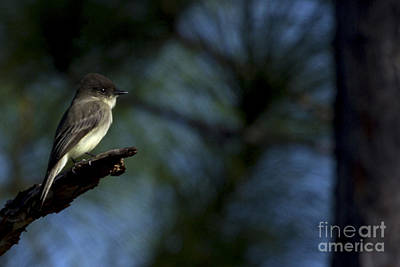 Photograph - Eastern Phoebe by Meg Rousher
