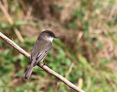 Photograph - Eastern Phoebe On Branch by Ira Runyan