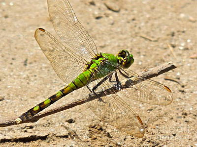 Photograph - Eastern Pondhawk Dragonfly by Eve Spring