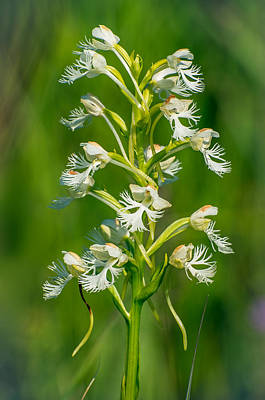 Photograph - Eastern Prairie Fringed Orchid by Jim Zablotny