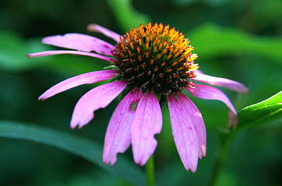 Photograph - Eastern Purple Coneflower Beside The Air Line State Park Trail  by Neal Eslinger