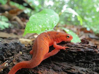 Red Eft Photograph - Eastern Red-spotted Eft by Chuck Buckner