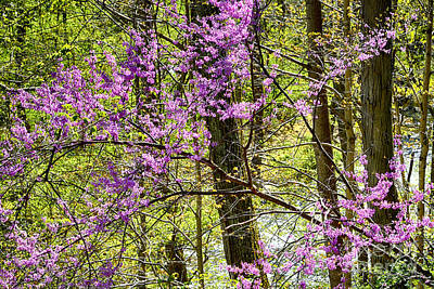 Cercis Photograph - Eastern Redbud Along Birch River by Thomas R Fletcher