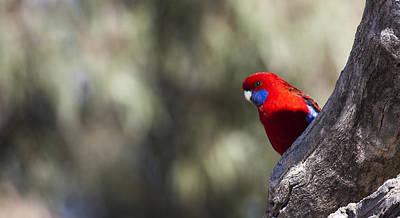 Photograph - Crimson Rosella - Australia by Steven Ralser