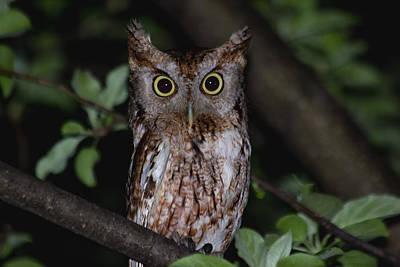 Flash Photograph - Eastern Screech-owl by Aaron J Groen