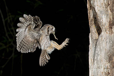 Photograph - Eastern Screech Owl by Anthony Mercieca