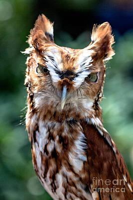 Eastern Screech-owl Original
