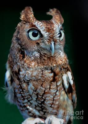 Screech Owl Photograph - Eastern Screech-owl by Carol Groenen