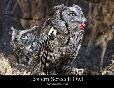 Digital Art - Eastern Screech Owl by Chris Flees