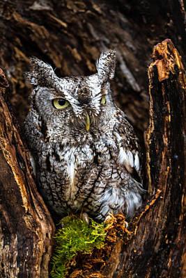 Eastern Screech Owl Art Print by Craig Brown