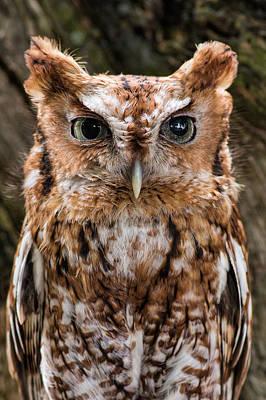 Photograph - Eastern Screech Owl by Dale Kincaid