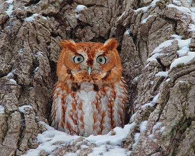 Photograph - Eastern Screech Owl by Daniel Behm