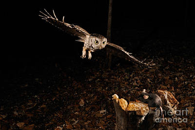 Birds In Flight At Night Photograph - Eastern Screech Owl Hunting by Scott Linstead