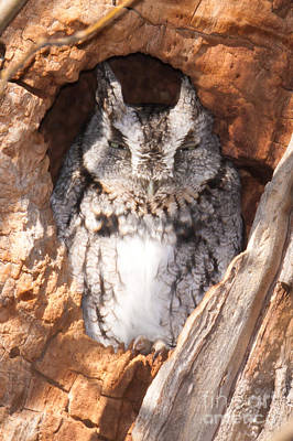 Photograph - Eastern Screech-owl I by Clarence Holmes