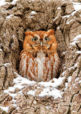 Eastern Screech Owl Art Print by Joshua Clark