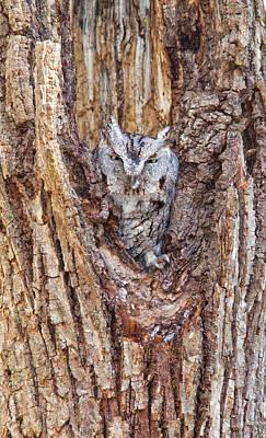 Eastern Screech-owl, Otus Asio Art Print