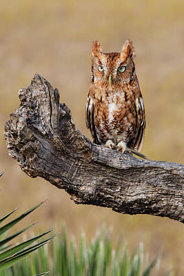 Eastern Screech Owl Photograph - Eastern Screech Owl (otus Asio by Larry Ditto