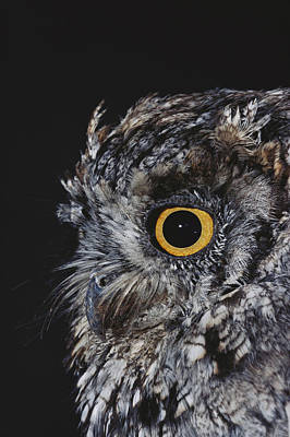 Photograph - Eastern Screech Owl by Robert J. Erwin