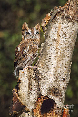 Eastern Screech Owl Photograph - Eastern Screech Owl by Todd Bielby