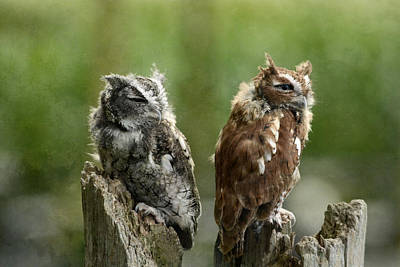 Photograph - Eastern Screech Owls by Ann Bridges