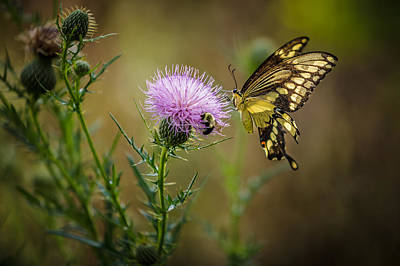 Photograph - Eastern Swallowtail Butterfly by Keith Allen