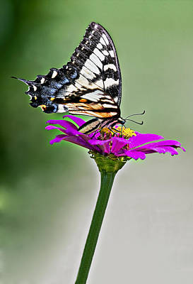 Gorgeous Photograph - Eastern Swallowtail Butterfly by Marcia Colelli
