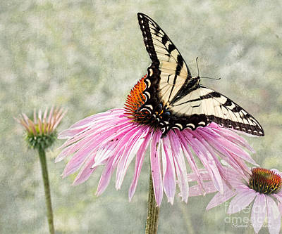 Photograph - Eastern Swallowtail Butterfly On Coneflower by Barbara McMahon
