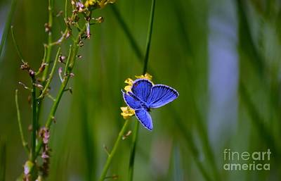 Photograph - Eastern Tail Blue Butterfly by Peggy Franz