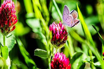 Photograph - Butterfly - Clover - Eastern Tailed Blue by Barry Jones