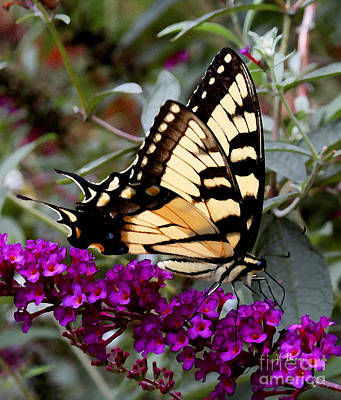 Photograph - Eastern Tiger Butterfly by James C Thomas