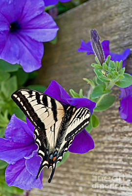 Photograph - Eastern Tiger Swallow Tail Butterfly by Valerie Garner