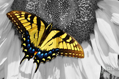 Eastern Tiger Swallow Tail  Art Print