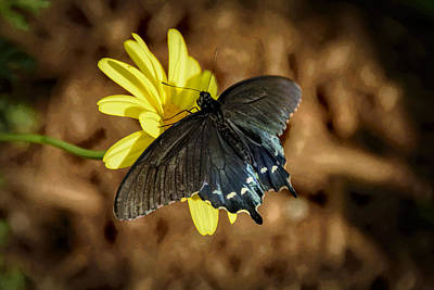 Photograph - Eastern Tiger Swallowtail- Black Form by Penny Lisowski