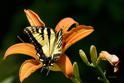 Photograph - Eastern Tiger Swallowtail Butterfly-1 by Christina Rollo