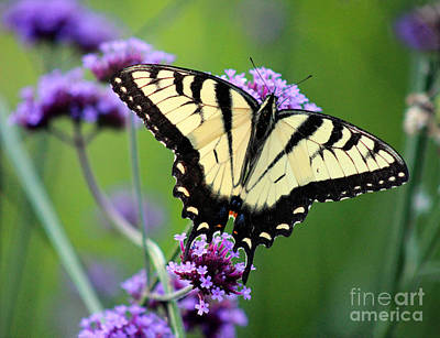 Photograph - Eastern Tiger Swallowtail Butterfly 2014 by Karen Adams