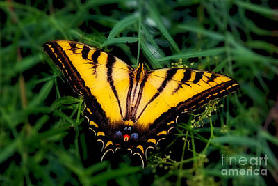 Photograph - Eastern Tiger Swallowtail Butterfly by Jerry Cowart