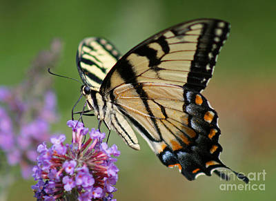 Photograph - Eastern Tiger Swallowtail Butterfly by Karen Adams