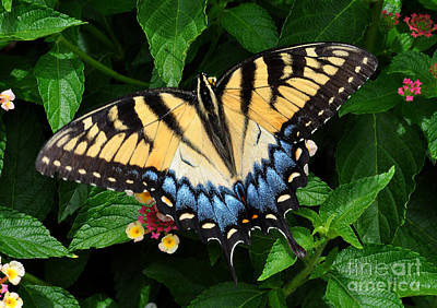 Photograph - Eastern Tiger Swallowtail Butterfly by Kathy Baccari