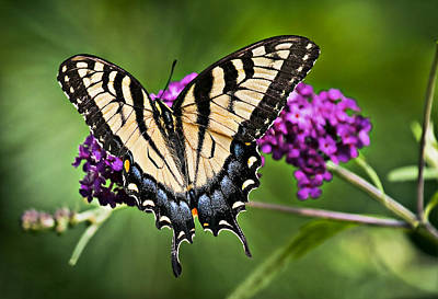 Recent Photograph - Eastern Tiger Swallowtail Butterfly by Marcia Colelli
