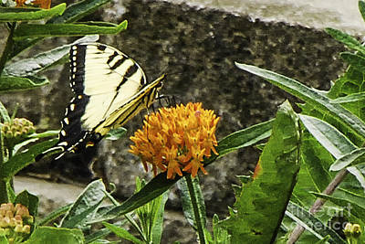 Photograph - Eastern Tiger Swallowtail Butterfly On Butterfly Weed by Mary Carol Story
