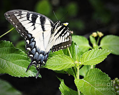 Photograph - Eastern Tiger Swallowtail Butterfly by Walter Herrit