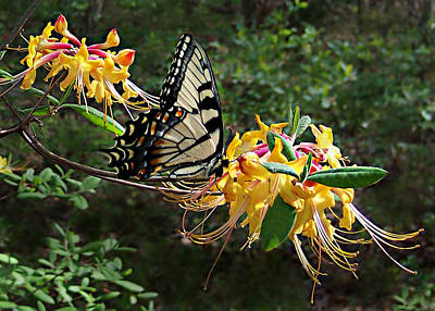 Art Print featuring the photograph Eastern Tiger Swallowtail Butterfly by William Tanneberger