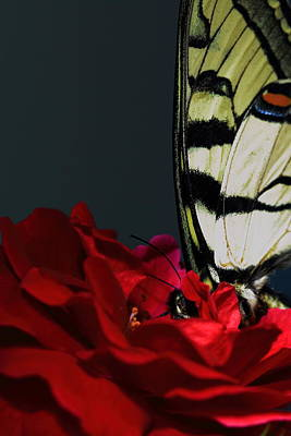 Eastern Tiger Swallowtail Art Print by Cody Arnold