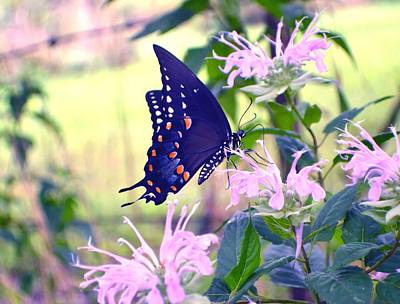 Photograph - Eastern Tiger Swallowtail Dark by Deena Stoddard