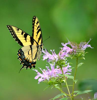 Photograph - Eastern Tiger Swallowtail by Deena Stoddard