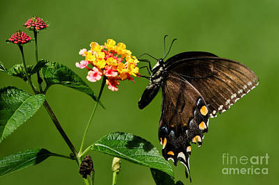 Photograph - Eastern Tiger Swallowtail Female by Paul Mashburn