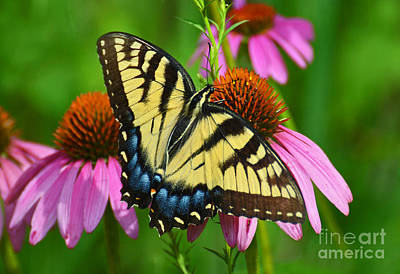 Photograph - Eastern Tiger Swallowtail Female by Rodney Campbell