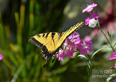 Photograph - Eastern Tiger Swallowtail II by Carol  Bradley